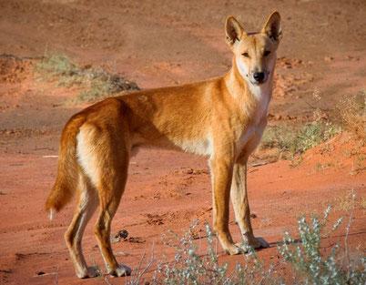 cri dingo animaux australie