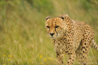 cri animaux guepard