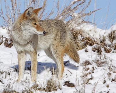 cri animaux coyote