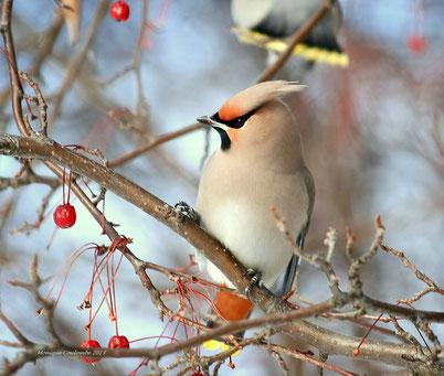 cri chant jaseur boreal oiseaux