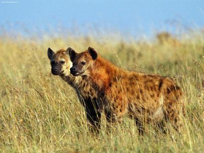 cri hyene tachetee animaux
