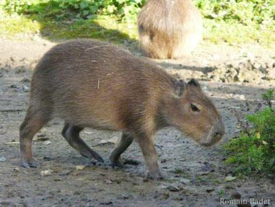 cri animaux capybara