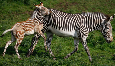 definition equides zebre