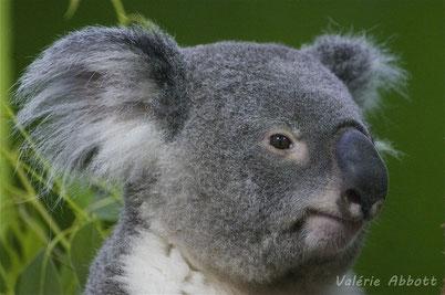 cri koala animaux