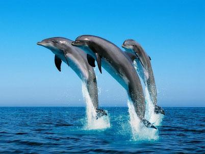 cri animaux chant dauphin souffleur