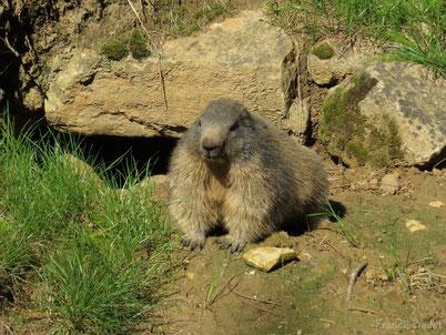 cri marmotte animaux