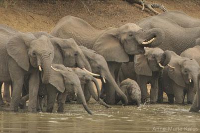 cri elephant animaux afrique
