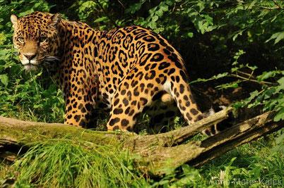 fiche animaux jaguar vs leopard
