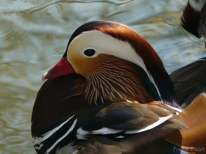 chant cri canard mandarin oiseau