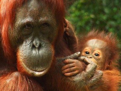 cri hurlement orang outan animaux