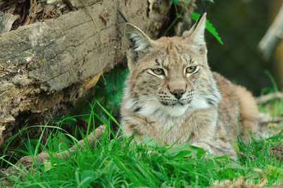 cri lynx animaux
