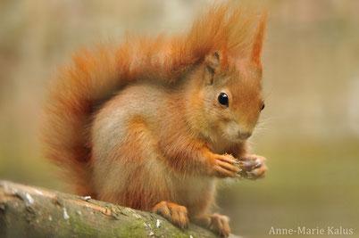 cri ecureuil roux animaux