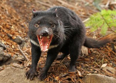 cri animaux diable de tasmanie