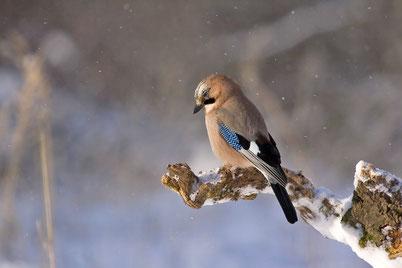 chant oiseaux cri geai des chenes