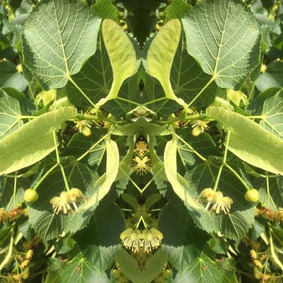 Spiegelung Lindenblüte Seelen Zauber Tuggen