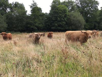 troupeau de highland cattle dans le prés et hautes herbes , ferme de la Millanchère