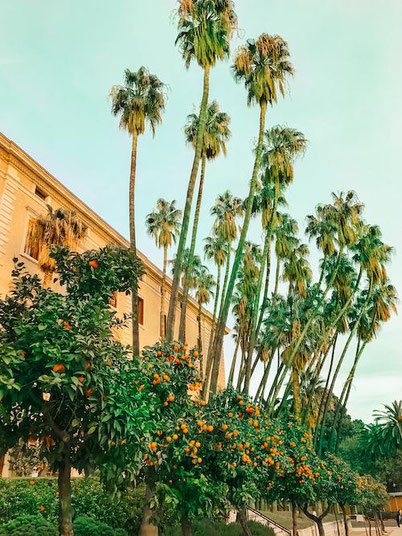 Mandarine trees and palm trees in Malaga, Spain