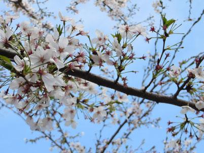 江古田の桜