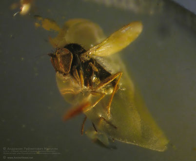 Inclusion in amber:   Diptera, Anthemyiidae