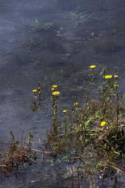 ミズギク  20011.08.09 群馬県 野反湖