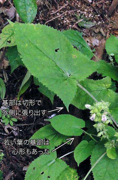 葉の基部は切形で外側に張り出すが、若い小さな葉の基部は心形もあった