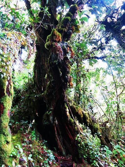 Mit Moos bewachsender Baum im Mossy Forest