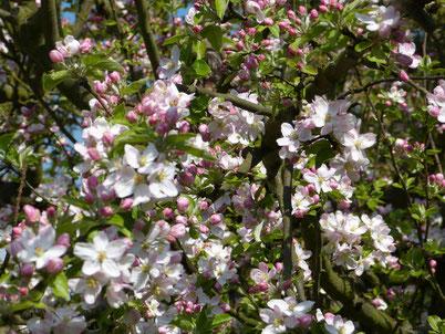 Unser Apfelbaum trägt reichlich schöne bunte Blüten. Daraus werden nach Bestäubung durch die Bienen reichlich Äpfel entstehen.