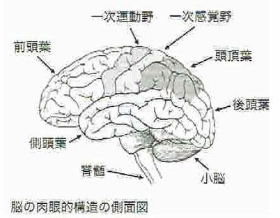 脳の肉眼的構造の側面図