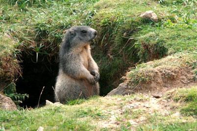 """""""affût"""" Marmottes 2011- Crédit photo """"Le blog de mickael26"""""""