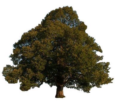Winterlinde (Tilia cordata) Die Winterlinde ist sommergrün, erreicht eine Höhe bis zu 30 m und kann 1000 Jahre alt werden. Die Lindenblüte ist von Ende Juni bis Ende Juli. Aufgrund der Vielzahl an Blüten ist sie eine wichtige Nahrungsquelle für die Honigb