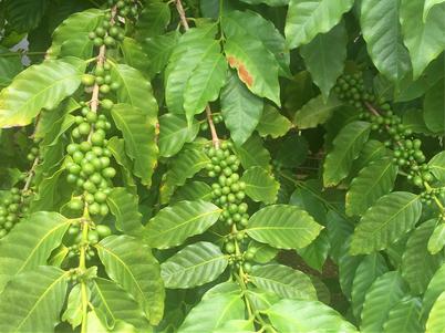 ハワイオアフ島 日本語ガイド付き貸切チャーター ワイアルアコーヒーファクトリー裏庭のコーヒーの木に実コーヒー豆