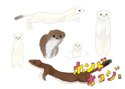 「ホンドオコジョ」準絶滅危惧種。  日本にはホンドオコジョとエゾオコジョの2種類が生息している。ホンドオコジョの方が体が小さい。  可愛らしい見た目から「森の妖精」「山の妖精」などと呼ばれ親しまれている。  夏は白と褐色、冬は白色になり、 夏毛の時も冬毛の時も、尾の先端が黒いのが特徴。