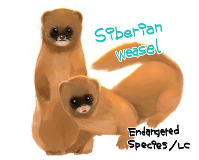 「シベリアイタチ」外来種。分布範囲は広く、亜種であるニホンイタチよりも一回り大きく、尻尾が長いのが特徴。 シベリアなどではコリンスキーと呼ばれ、高級な筆の原料として尾の体毛が使用される。