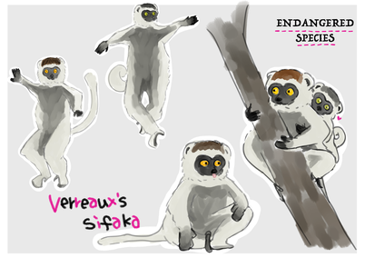 「ベローシファカ」草食。マダガスカルの固有種。  前肢は短く、後肢が長いため地上では四肢を使って歩行することができず、 横に飛び跳ねるように移動する。  主に樹上で生活し、木から木へと10メートルほど跳躍できる強靭な脚を持つ。