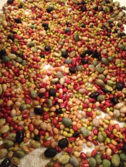 在来の豆を発芽させて。目の前で調理
