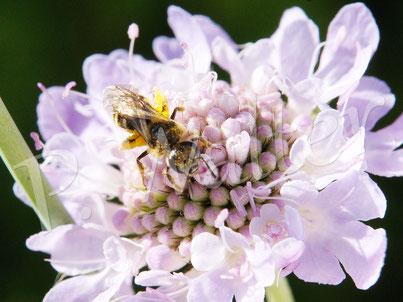 09.07.2016 : Wildbiene an der Blüte einer Skabosie