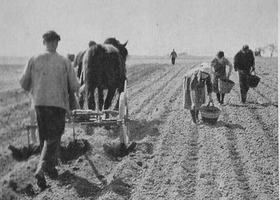 Nach dem Legen der Kartoffeln in die Pflanzlöcher wurden diese wieder per Spezial-Pflug angehäufelt.