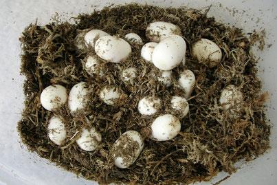 Kornnatter Gelege / Eier
