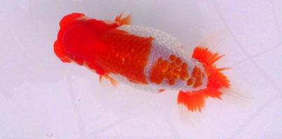 平成27年度日本らんちゅう協会全国大会 当歳魚の部・東大関
