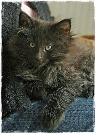 Coffie, unsere kleine Schoßkatze, ist immer für ein Spielchen bereit. Er ist neugierig, lebhaft und sehr anhänglich.