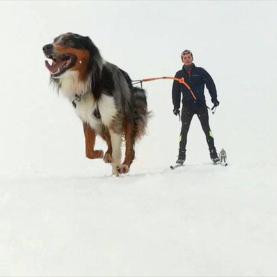 ski-joering, ski joering, neige, chien, canicross, berger australien, méaudre