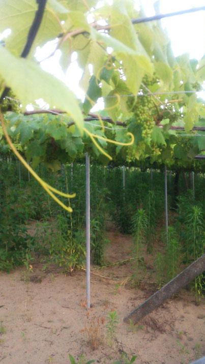 ぶどう畑栽培放棄地