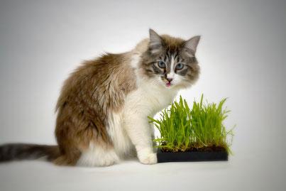 Wann sollte man Katzengras reichen? Katzengras Wirkung