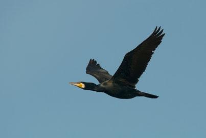 Wie kann man die schwarzen Vögel anlocken?