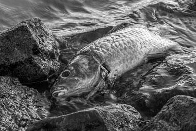 Die wirtschaftlichen Folgen durch den Kormoran für Fischzuchten