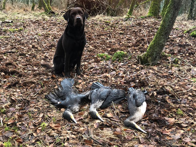 Die Jagd durch die Kormoranenverordnung und dem brauchenbaren Jagdhund für den Kormoran