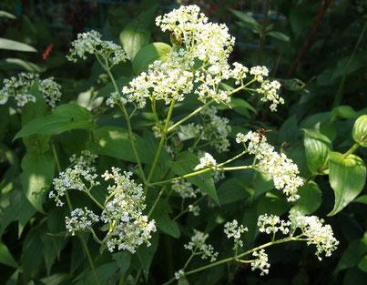 ●近くに姿が少し男らしいという男郎花(オトコエシ)も咲いていました