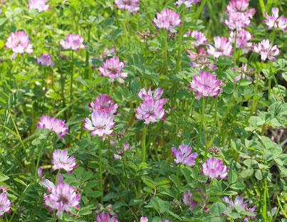 ●ゲンゲ(レンゲ):園内を散策する木道の近くにたくさん咲いていました