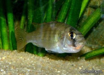 Femelle Haplochromis CH44 en incub, les oeufs sont visibles