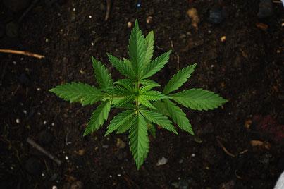 Hanfpflanze, Hanf, Nutzhanf , Steckling Cannabis Ganja Grow